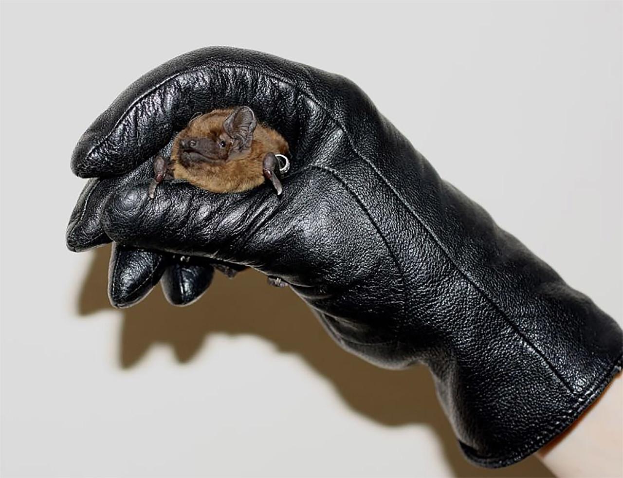 Монтажники окон могут помочь летучим мышам